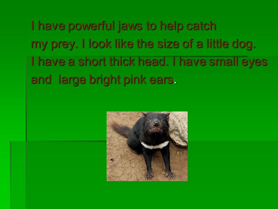 I have powerful jaws to help catch my prey. I look like the size of a little dog. I have a short thick head. I have small eyes and large bright pink e