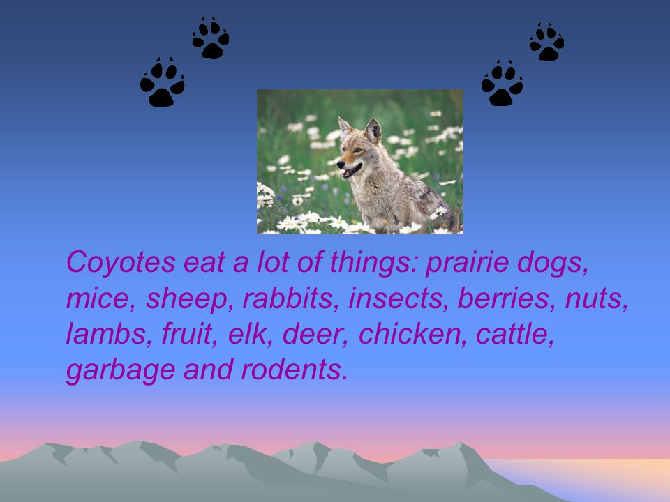 Coyotes eat a lot of things: prairie dogs, mice, sheep, rabbits, insects, berries, nuts, lambs, fruit, elk, deer, chicken, cattle, garbage and rodents