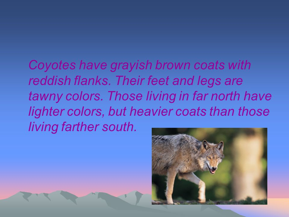 Coyotes have grayish brown coats with reddish flanks. Their feet and legs are tawny colors. Those living in far north have lighter colors, but heavier