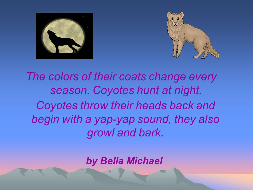 The colors of their coats change every season. Coyotes hunt at night. Coyotes throw their heads back and begin with a yap-yap sound, they also growl a