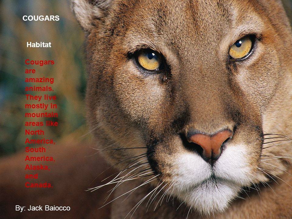 Cougar Cougars are amazing animals. They live mostly in mountain areas like North America, South America, Alaska, and Canada. COUGARS Habitat By: Jack