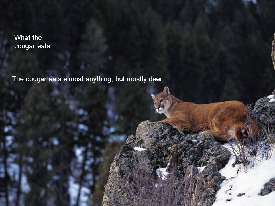 The cougar is a grayish or a reddish tan and also a light brown. The cougar eats almost anything, but mostly deer What the cougar eats