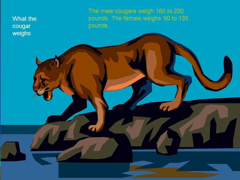 The male cougars weigh 160 to 200 pounds. The female weighs 90 to 135 pounds. What the cougar weighs
