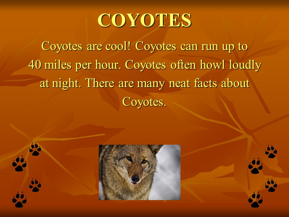 COYOTES Coyotes are cool! Coyotes can run up to 40 miles per hour. Coyotes often howl loudly at night. There are many neat facts about Coyotes.