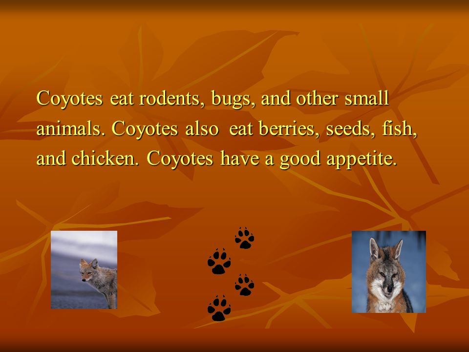 Coyotes eat rodents, bugs, and other small animals. Coyotes also eat berries, seeds, fish, and chicken. Coyotes have a good appetite.