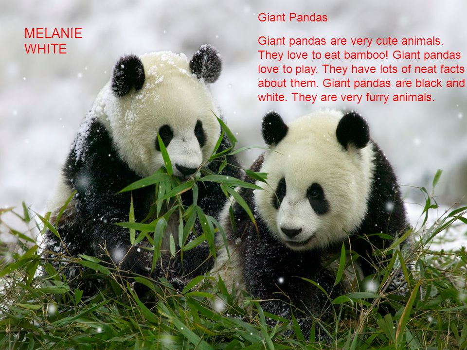 Giant Pandas Giant pandas are very cute animals. They love to eat bamboo! Giant pandas love to play. They have lots of neat facts about them. Giant pa