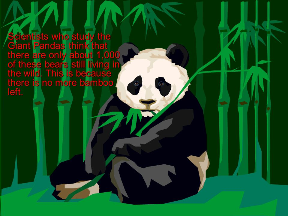 Scientists who study the Giant Pandas think that there are only about 1,000 of these bears still living in the wild. This is because there is no more