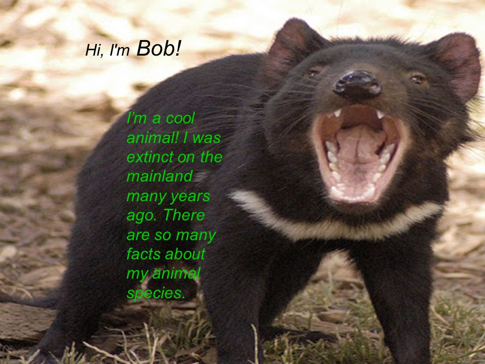 Hi I'm Crabby Tasmainian. I'm a cool animal. I was extinct on the mainland many years ago.