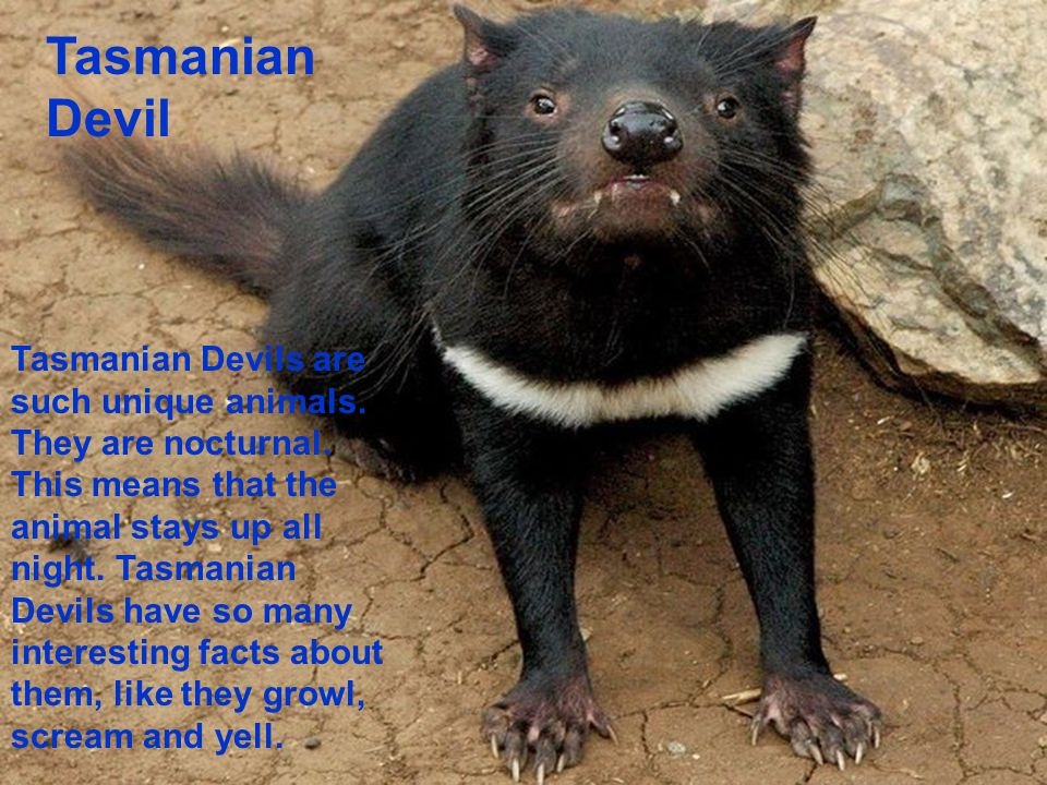 Tasmanian Devil Tasmanian Devils are such unique animals. They are nocturnal. This means that the animal stays up all night. Tasmanian Devils have so
