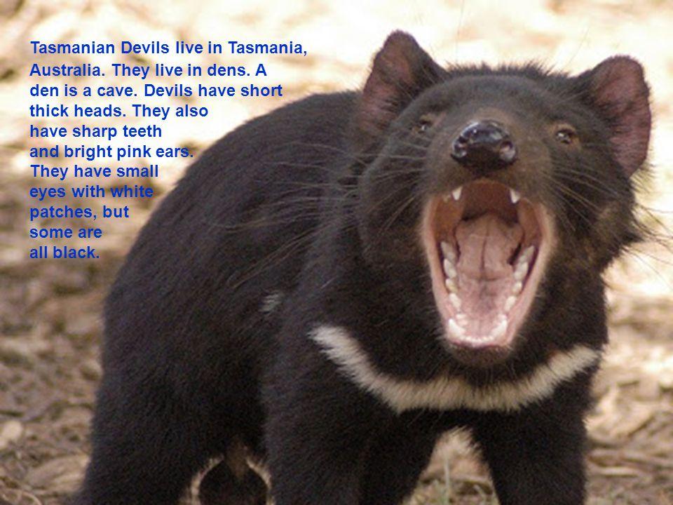 Tasmanian Devils live in Tasmania, Australia. They live in dens.