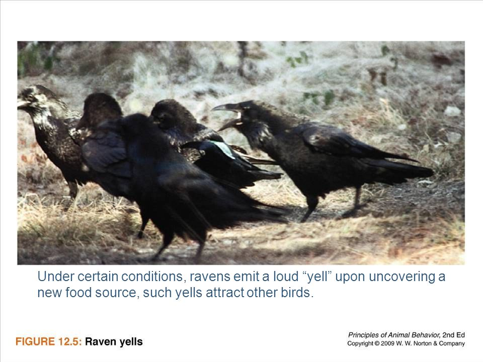 Ayo 2010 Ethology15 Under certain conditions, ravens emit a loud yell upon uncovering a new food source, such yells attract other birds.