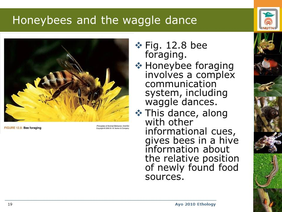Ayo 2010 Ethology19 Honeybees and the waggle dance  Fig.