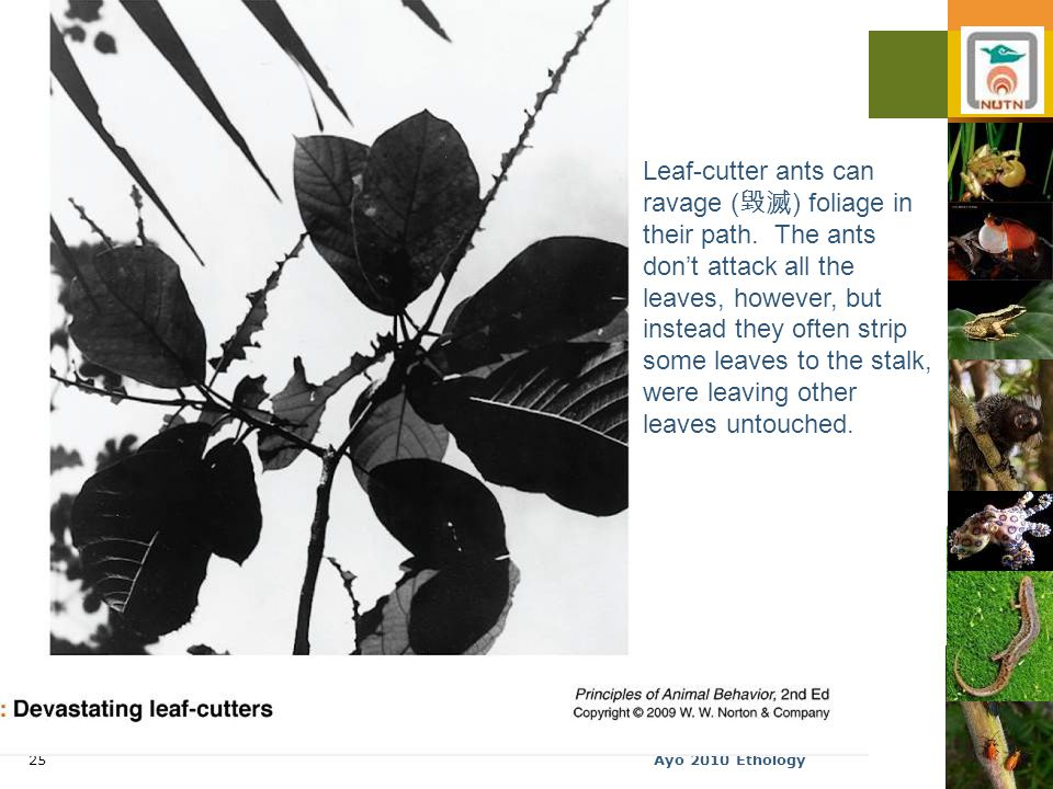 Ayo 2010 Ethology25 Leaf-cutter ants can ravage ( 毀滅 ) foliage in their path.