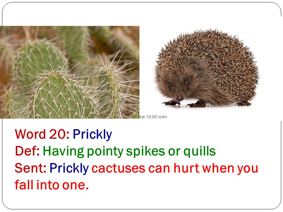 Word 20: Prickly Def: Having pointy spikes or quills Sent: Prickly cactuses can hurt when you fall into one.