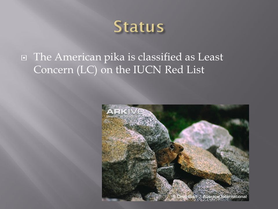  The American pika is classified as Least Concern (LC) on the IUCN Red List