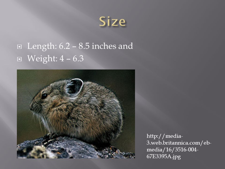  Length: 6.2 – 8.5 inches and  Weight: 4 – 6.3 http://media- 3.web.britannica.com/eb- media/16/3516-004- 67E3395A.jpg