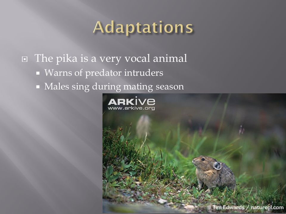 The pika is a very vocal animal  Warns of predator intruders  Males sing during mating season