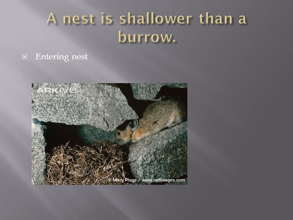  Entering nest