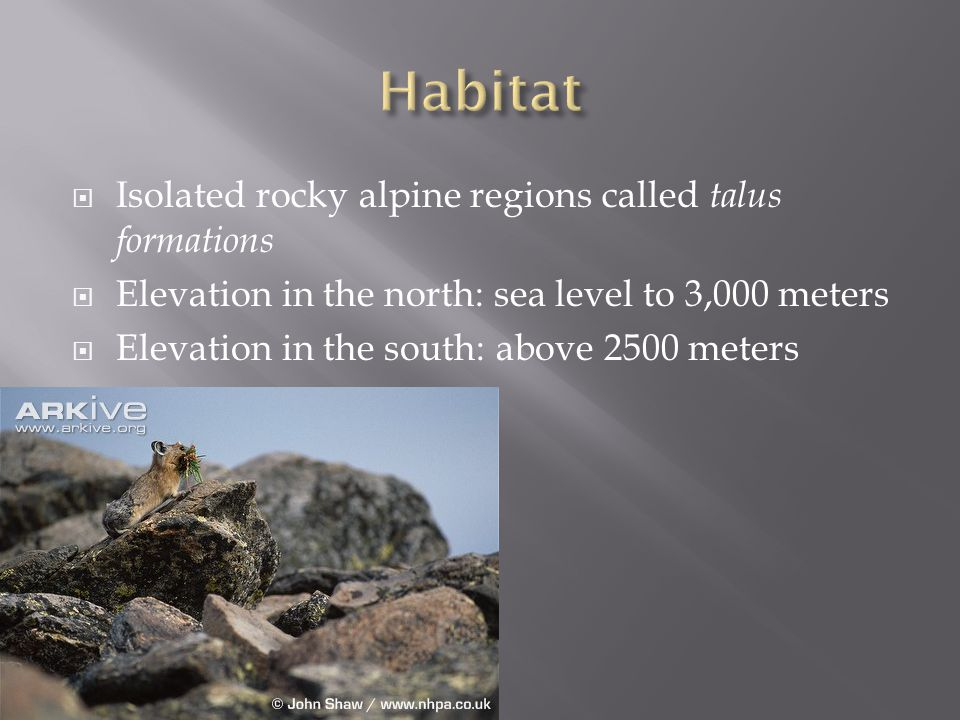  The pika is a very vocal animal  Warns of predator intruders  Males sing during mating season