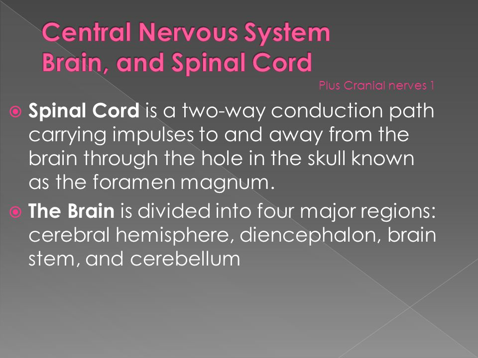  Spinal Cord is a two-way conduction path carrying impulses to and away from the brain through the hole in the skull known as the foramen magnum.