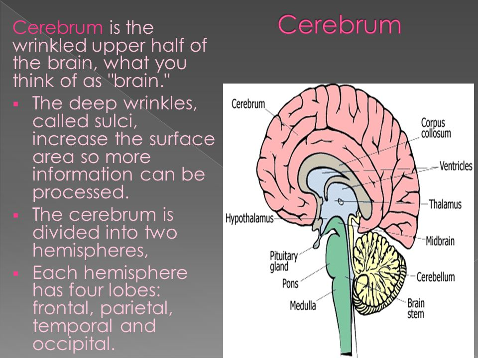 Cerebrum is the wrinkled upper half of the brain, what you think of as brain.  The deep wrinkles, called sulci, increase the surface area so more information can be processed.