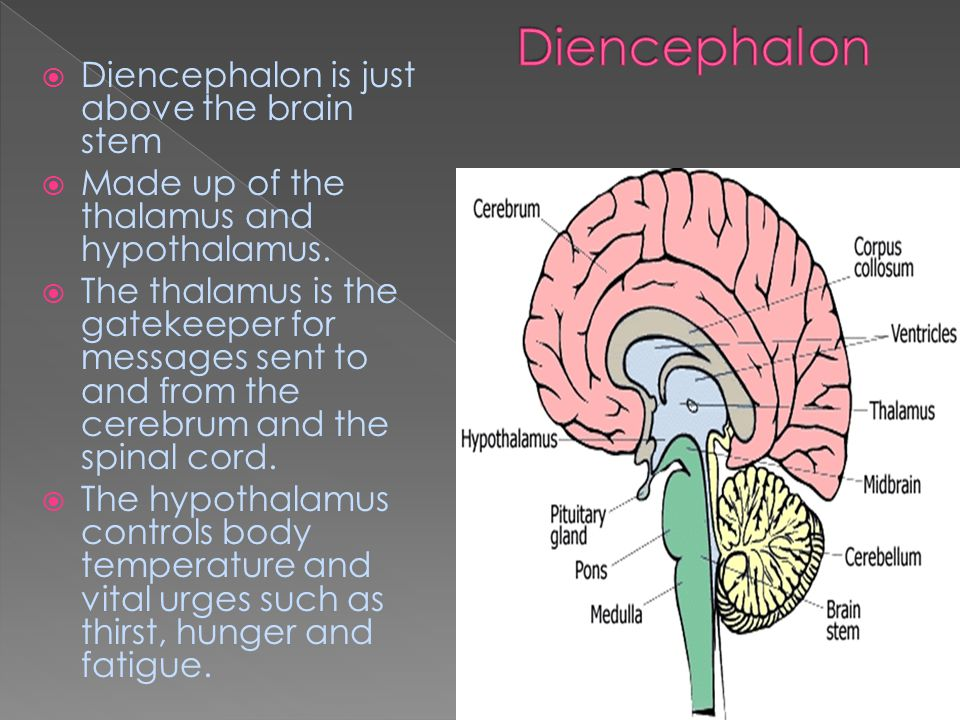  Diencephalon is just above the brain stem  Made up of the thalamus and hypothalamus.