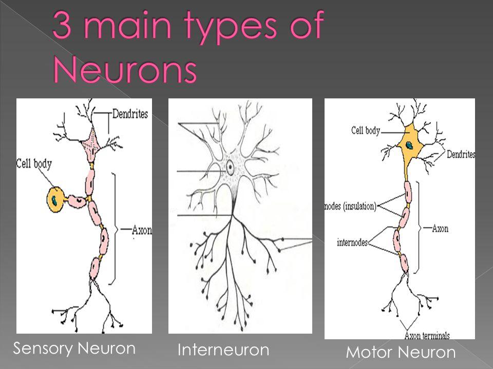 Sensory Neuron Interneuron Motor Neuron