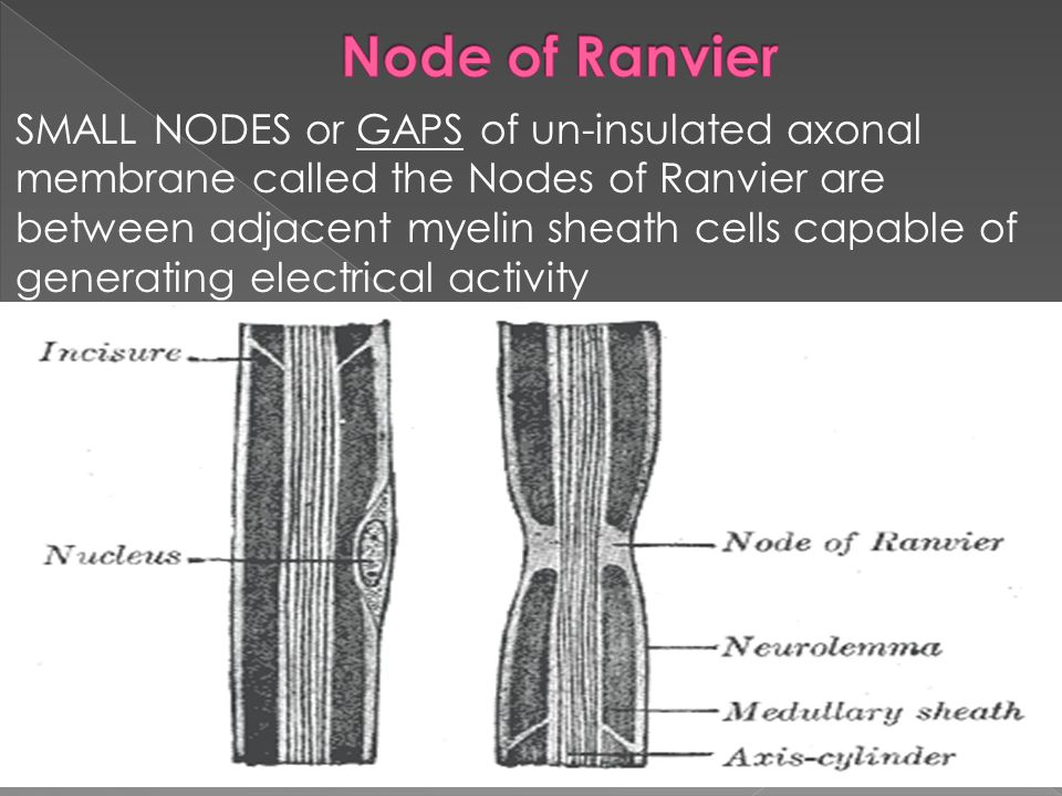 SMALL NODES or GAPS of un-insulated axonal membrane called the Nodes of Ranvier are between adjacent myelin sheath cells capable of generating electrical activity