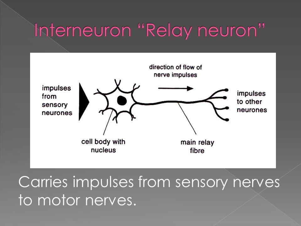 Carries impulses from sensory nerves to motor nerves.