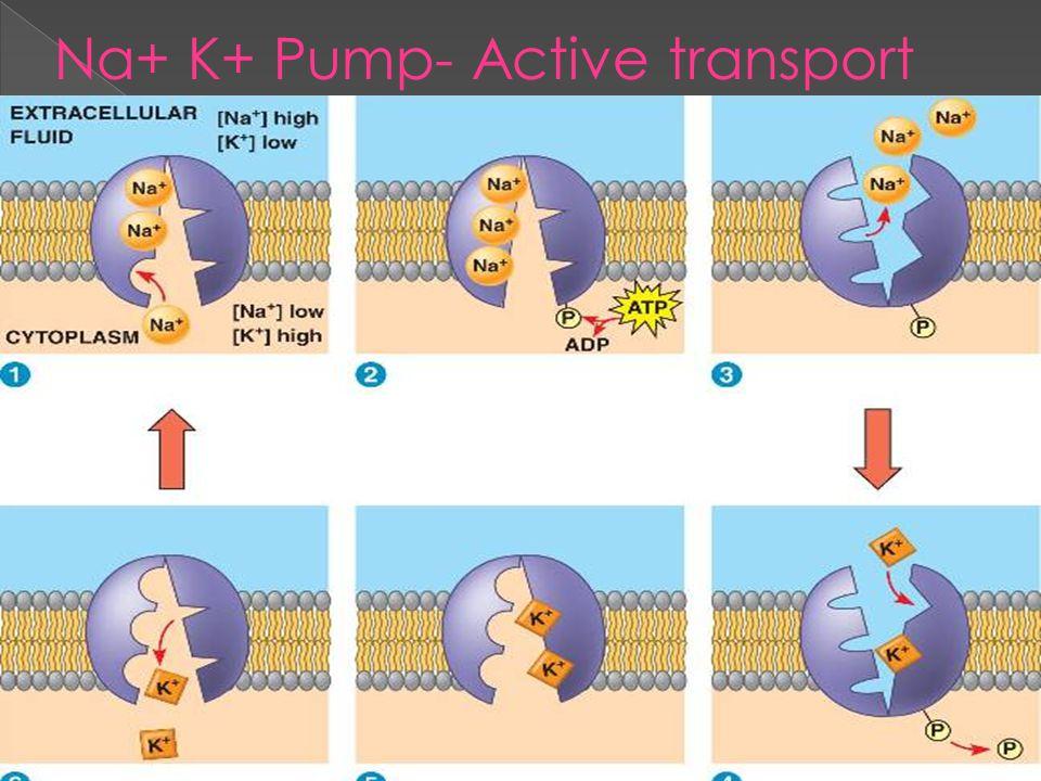 Na+ K+ Pump- Active transport