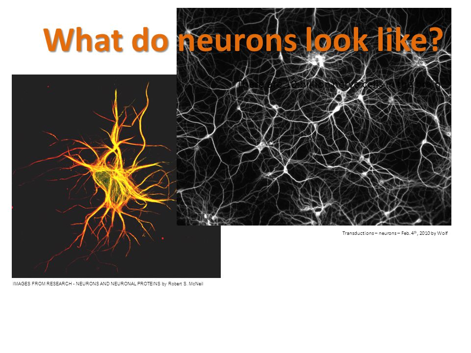 What do neurons look like? There are 10 billion nerve cells in the brain. IMAGES FROM RESEARCH - NEURONS AND NEURONAL PROTEINS by Robert S. McNeil Tra