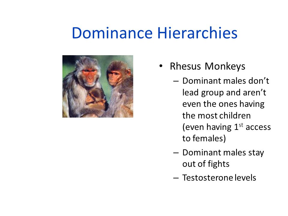  Rhesus Monkeys – Mother's Rank – Males leave at puberty (3 ½ years) – rank is decided by new group and the males relationship with dominant females