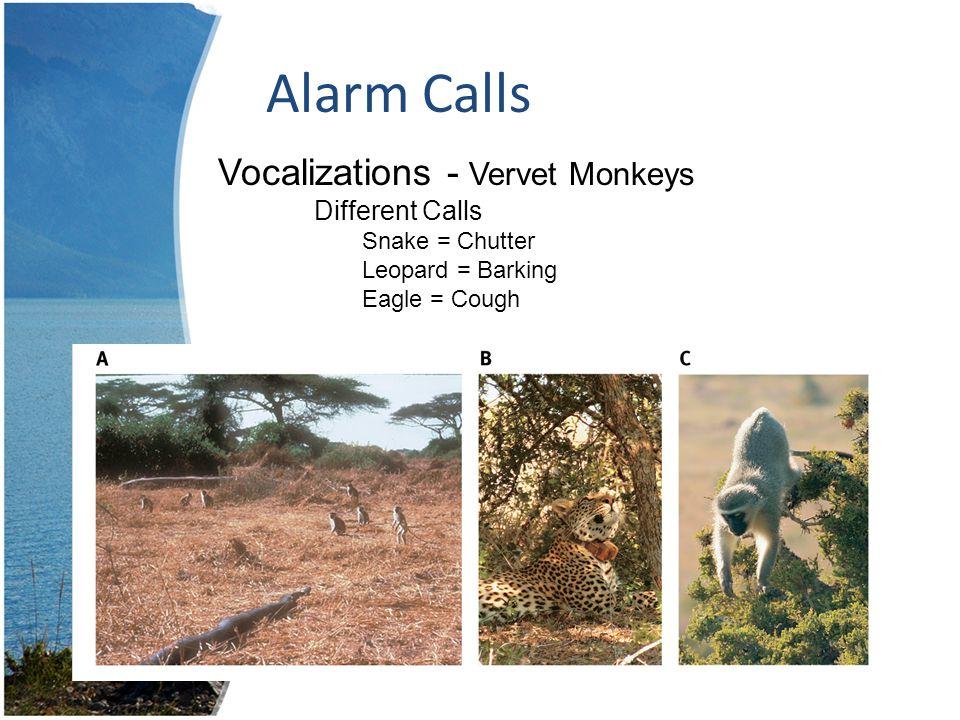 Alarm Calls Vocalizations - Vervet Monkeys Different Calls Snake = Chutter Leopard = Barking Eagle = Cough