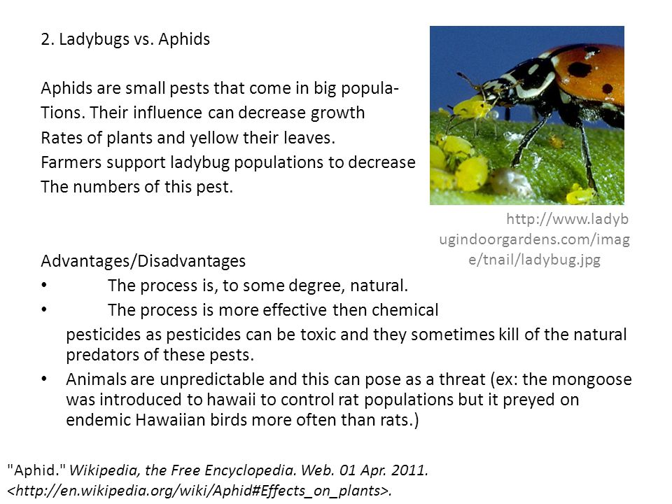 2. Ladybugs vs. Aphids Aphids are small pests that come in big popula- Tions. Their influence can decrease growth Rates of plants and yellow their lea