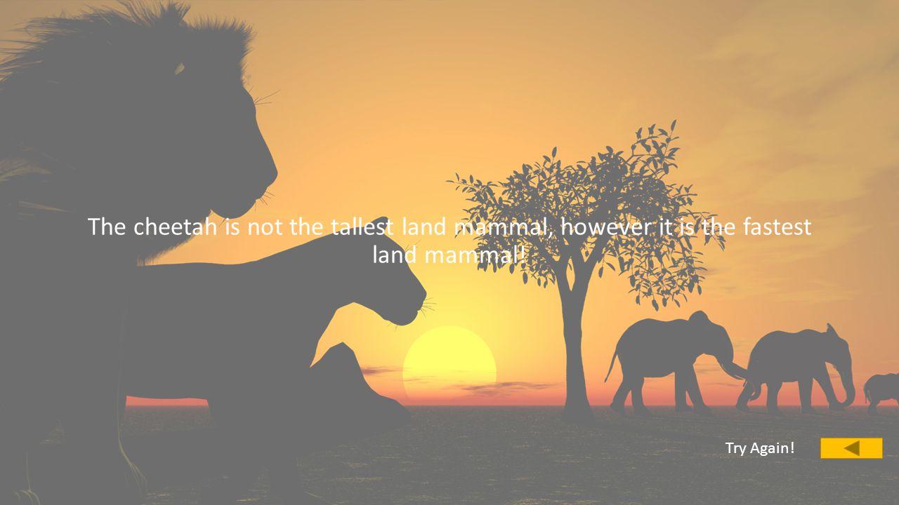 What is the tallest land mammal A.CheetahCheetah B.GiraffeGiraffe C.ElephantElephant