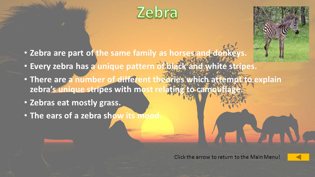 Zebra are part of the same family as horses and donkeys.