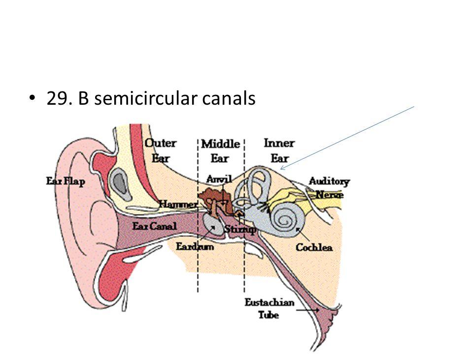 29. B semicircular canals