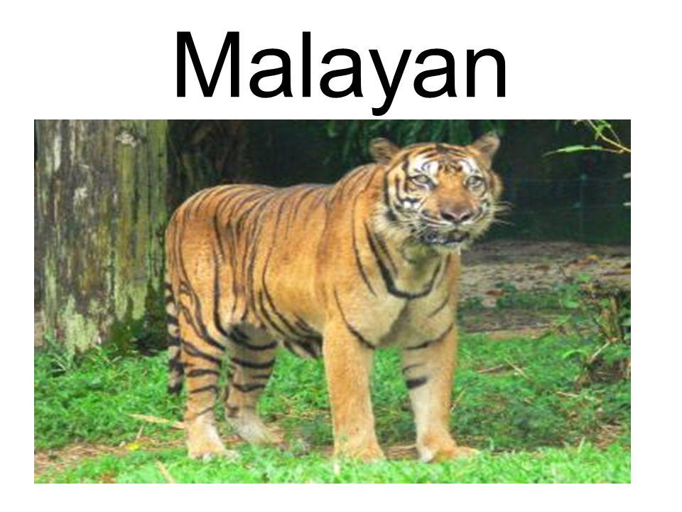 Malayan