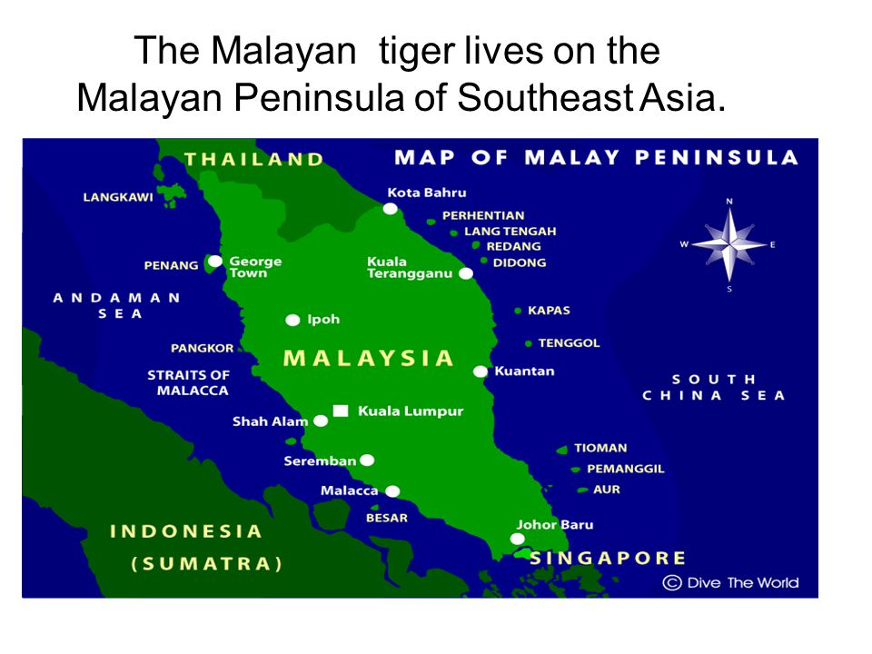 The Malayan tiger lives on the Malayan Peninsula of Southeast Asia.