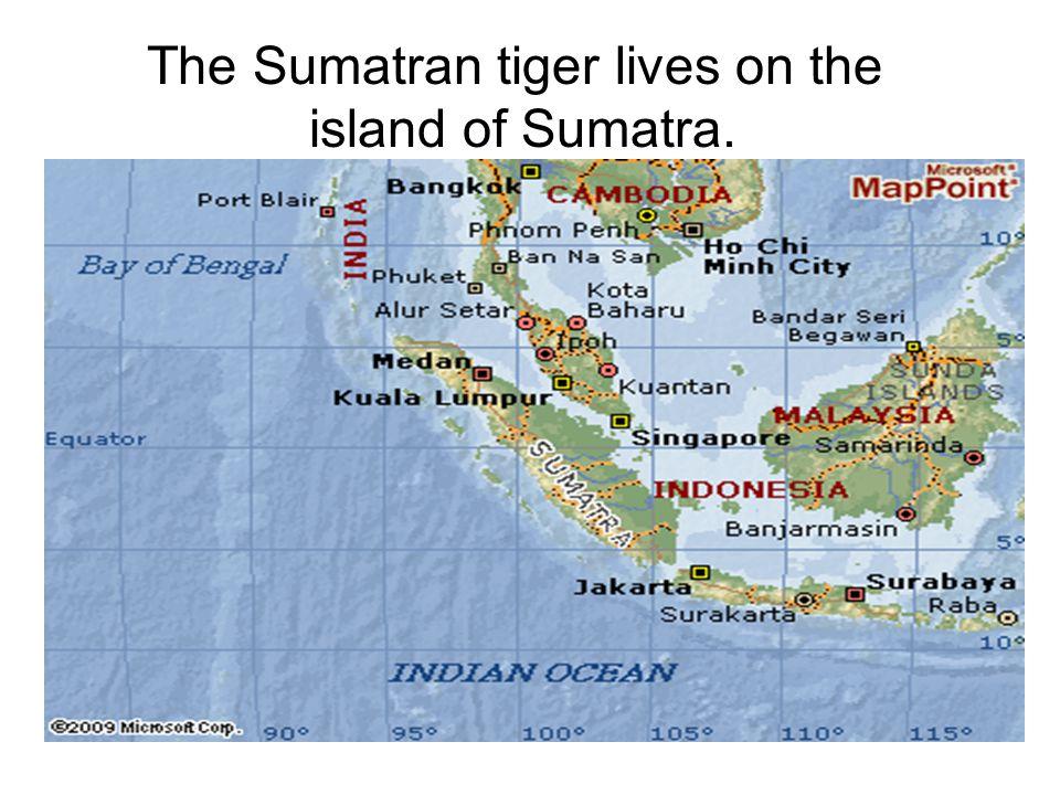 The Sumatran tiger lives on the island of Sumatra.