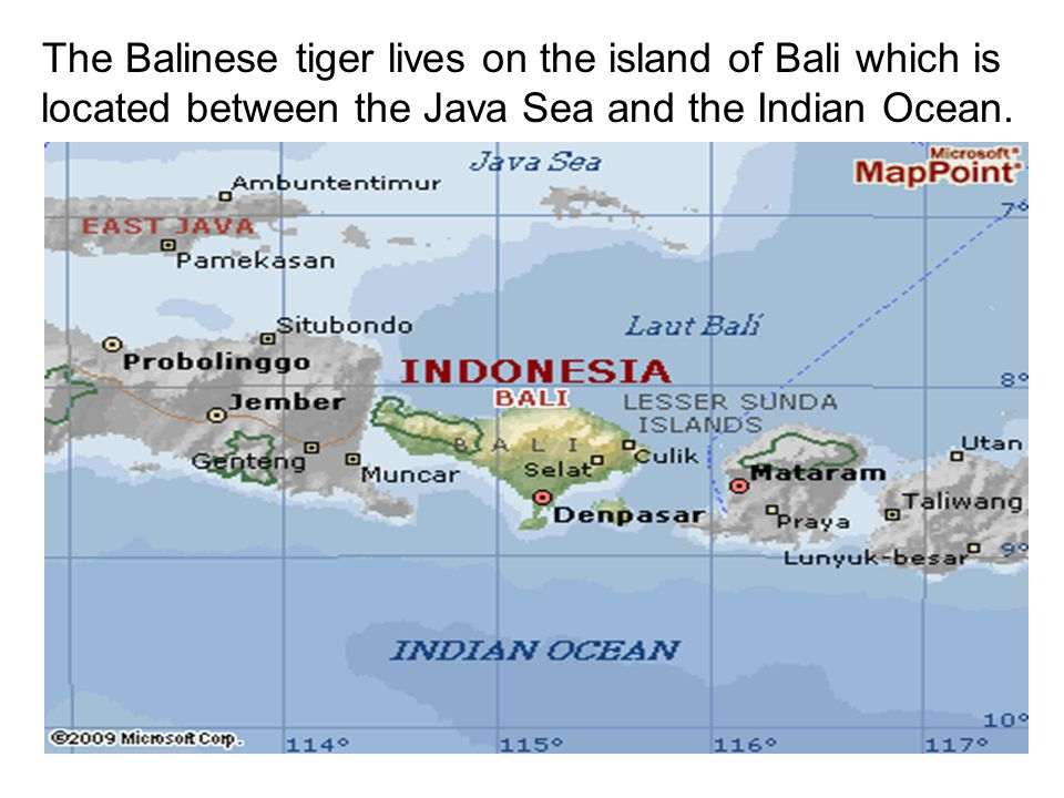 The Balinese tiger lives on the island of Bali which is located between the Java Sea and the Indian Ocean.