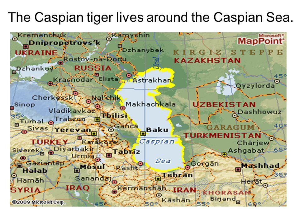 The Caspian tiger lives around the Caspian Sea.