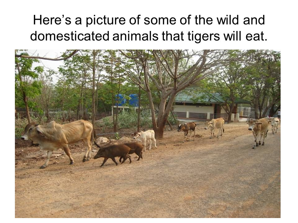 Here's a picture of some of the wild and domesticated animals that tigers will eat.