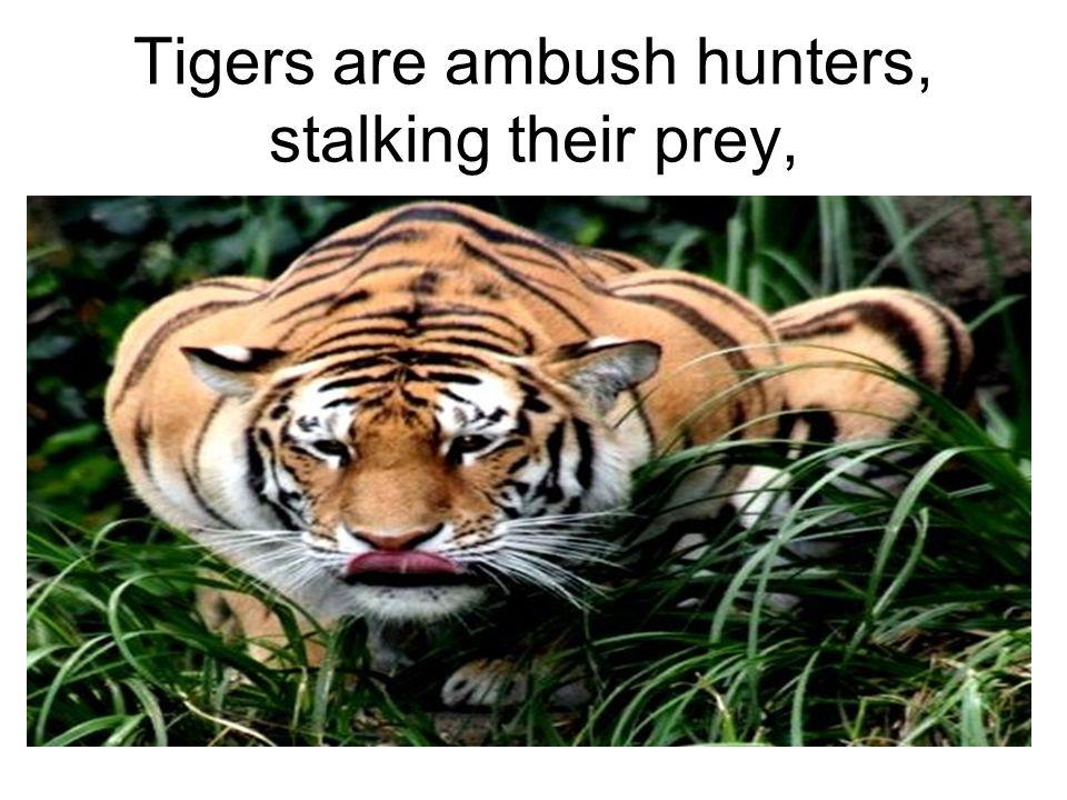 Tigers are ambush hunters, stalking their prey,