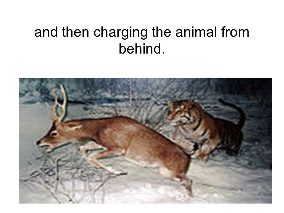 and then charging the animal from behind.