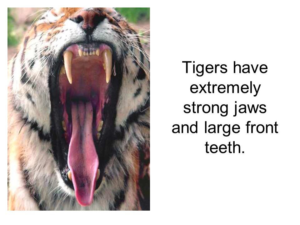 Tigers have extremely strong jaws and large front teeth.