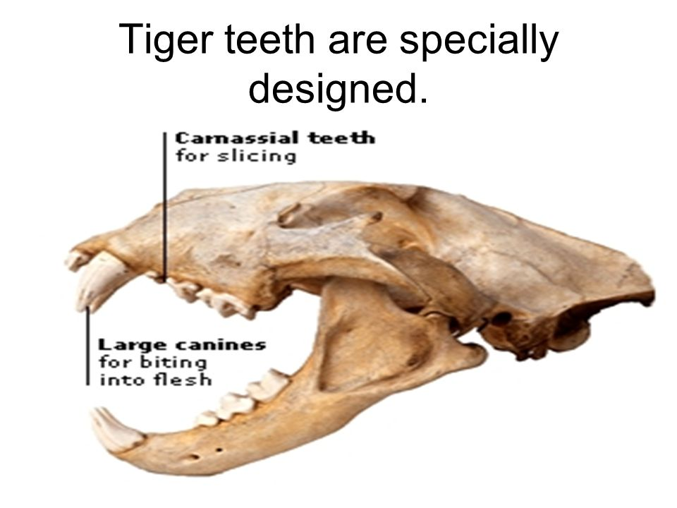 Tiger teeth are specially designed.