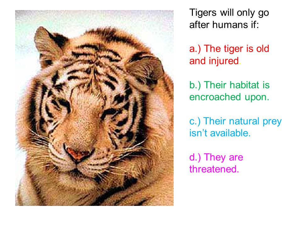 Tigers will only go after humans if: a.) The tiger is old and injured.