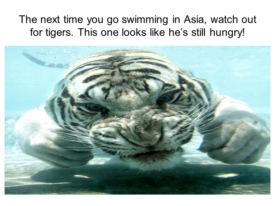The next time you go swimming in Asia, watch out for tigers. This one looks like he's still hungry!