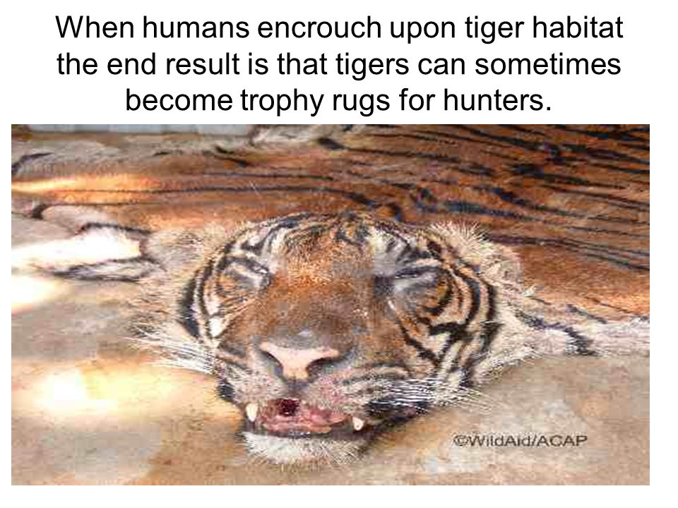 When humans encrouch upon tiger habitat the end result is that tigers can sometimes become trophy rugs for hunters.
